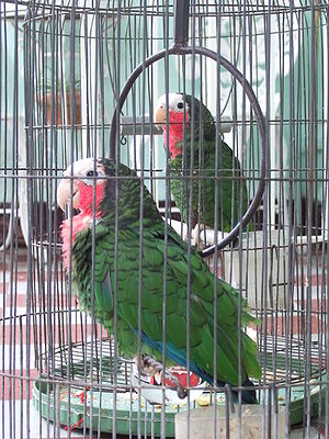 Cuban Parrot (Amazona leucocephala) in Cuba (2007). Pet parrots. (Photo credit: Wikipedia)